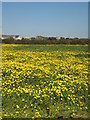 SW6028 : Field of Corn Marigolds near Penhale Jakes Farm by Rod Allday