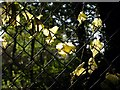 SX9057 : Leaves on a fence by Derek Harper