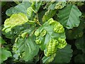 NS3980 : Leaf galls on common alder by Lairich Rig