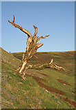 NY3090 : An old tree on Sherra Craigs by Walter Baxter
