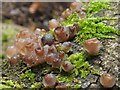 NS3878 : Beech Jellydisc Fungus (Neobulgaria pura) by Lairich Rig